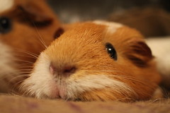 Guinea pig (ruthandmisty) Tags: pet pets brown white cute eye animal animals hair fur guineapig eyes furry guineapigs small adorable fluffy brownandwhite