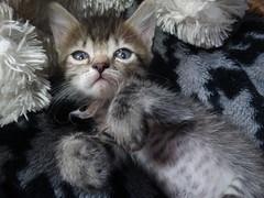 Amarula <3 (Meteor-a) Tags: cute animal cat kawaii amarula desu