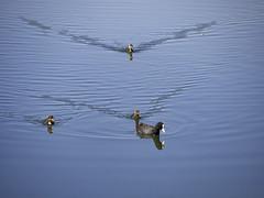 Little one running behind (Ciddi Biri) Tags: lake bird nature water animal wildlife ku ptak gl hayvan doa vahiyaam 40150r olympusomdem10 m43turkiyecom