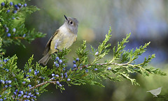 Ruby-crowned Kinglet: We're overjoyed to have this adorable & feisty Ruby-crowned Kinglet visiting in our yard. Scott & I had a blast observing & photographing our new friend. I hope she stays around all winter. Portsmouth, Va 11-21-15 (chryscott4) Tags: bird nature birds photography virginia photo wildlife birding va portsmouth birdwatching birder birdwatcher wildlifephotos