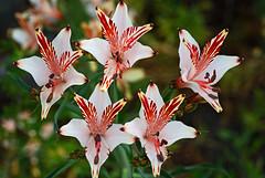 Alstromeria (enrique.campo) Tags: flores astromelia