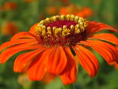 Orange Zinnia (Shelley Huang) Tags: nature sunshine orangeflower zinnia  qiaotou
