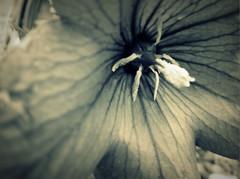 I A Hidden Discovery : Veins I (The Keeper.) Tags: light shadow blackandwhite white black flower texture lines garden dark photography inside tight process shape edit