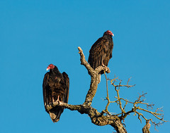Two of a kind (blueslk) Tags: california wild bird nature birds outdoors wildlife vulture sacramentocounty turkeyvulture americanriverparkway