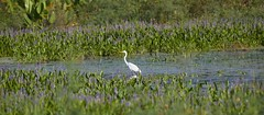 Sep 26 201615486 (Lake Worth) Tags: animal animals bird birdwatcher birds canonef500mmf4lisiiusm canoneos1dxmarkii everglades feathers florida nature outdoor southflorida waterbirds wetlands wildlife wing