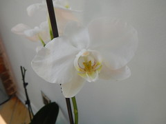 DSCN0549 (Riek2008) Tags: orchids