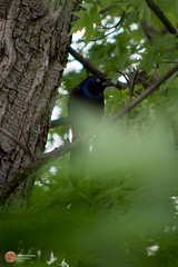 IMG_0802 (watergirl_now) Tags: grackle black yellow eye blue iridescent feathers tree bird