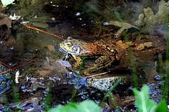 Lithobates catesbeianus (American Bullfrog) (birdgal5) Tags: california mariposacounty yosemitenp yosemitenationalpark yosemitevalley ahwahneehotel pond amphibia ranidae bullfrog americanbullfrog lithobates lithobatescatesbeianus nikon d100 35105mmf3545af inaturalistorg