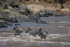 10078289 (wolfgangkaehler) Tags: 2016africa african eastafrica eastafrican kenya kenyan masaimara masaimarakenya masaimaranationalreserve marariver wildlife migration migrating crossing crossingriver crossingstream zebras plainszebrasequusquagga burchellszebra burchellszebraequusquagga burchellszebras