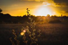 Lit by the sunset (Lasorigin) Tags: arbre champs coucherdesoleil horizon nature paysage saintmalobretagne tree flower fleur field sunset darkness
