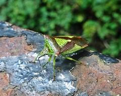 West End Bug (Bricheno) Tags: bricheno scotland escocia schottland cosse scozia esccia szkocja scoia    insect macro kelvingrove shieldbug stinkbug