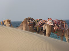 Camels in the desert of Doha (knatta) Tags: camel desert doha quatar travel hot summer
