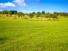 Orchard (enneafive) Tags: orchard trees mistletoe sky grass green blue