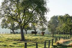 Angelmodde_Hochlandrinder-2595 (encyclopaedia) Tags: angelomdde gremmendorf rind rinder gegenlicht autum bume trees baum tree lightroom raw herbst outdoor