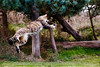 IMG_1826 (TvdMost) Tags: bwc britishwildlifecentre felissilvestris scottishwildcat wildcat wildekat