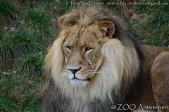 Afrikaanse leeuw - Panthera leo leo - African Lion (MrTDiddy) Tags: afrikaanse leeuw panthera leo african lion big cat grote kat bigcat grotekat feline zoogdier mammal male mannelijk nestor zooantwerpen zoo antwerpen antwerp