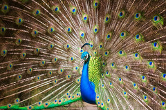 Portrait of beautiful peacock (anekphoto) Tags: animal background beak beautiful beauty bird blue bright ceremony closeup cockerel color colorful dancing day descriptive elegance exhibition feathers green head horizontal majestic male multi nature neck pattern peacock pheasant plumage pride ritual showing tail tropical turquoise vibrant vitality wildlife