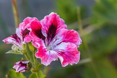 DSC_5856.jpg (Thanks for 1.25 million views!) Tags: extensiontube 2015 tasmania suzyvisitstasmania flower burnie