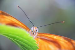 Julia (saeah_lee) Tags: dryasiulia fscottfitzgerald bug bugs butterfly canon100mm eyes florida insect insecteyes insects jacksonville jacksonvillezooandgardens julia juliabutterfly kenkoextensiontubes macro nature outdoor outside unitedstates usa