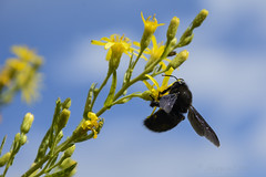 Bumble Bee (hippyczich) Tags: bee bumble insect flower ithaca greece