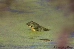 Rana toro americana / American Bullfrog (Lithobates catesbeianus) (avgomo) Tags: usa unitedstates eeuu estadosunidos california losangeles ballona fauna amphibians anfibios ranas frogs