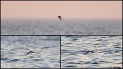 Black Tern (Chlidonias niger) - record shots (Steve Arena) Tags: chlidoniasniger blte blacktern marshtern tern racepoint racepointpoint provincetown massachusetts nikon d750