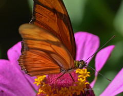 Julia heliconian or longwing (justkim1106) Tags: nature flower zinnia animal wildlife texas montell uvaldecounty butterfly longwing heliconian insect bokeh beyondbokeh