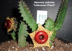 "Huernia zebrina Aka ""Life Saver Plant"" (Pic #2 of a one gallon stock plant in bloom @ Epicacti Nursery) (mattslandscape) Tags: huernia zebrina life saver plant lifesaver carrion stapelia succulent succulents succulenta plants flower bloom blooms"