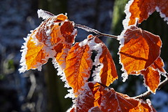The embrace of the winter (ej - photographie) Tags: laub blatt blätter herbst automn olympus omd em5 outdoor makro macro winter frost wald forest schärfentiefe schweiz suisse svizzera switzerland leaves herbstfarben kälte kalt depthofsharpness sharpness depth ice eis schnee gefrohren flickr em5markii favs100 zuiko mzuiko wow