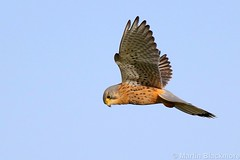 Kestrel 65822 (wildlifetog) Tags: kestrel sthelens isleofwight uk mbiow martin blackmore britishisles britain bird birds british inflight canon european eos7dmkii wild wildlifeeurope wildlife wings feathers flying flight plumage pajaro loiseau nature hunting
