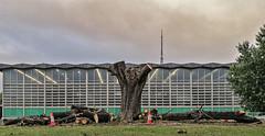Condemned tree part 2 (bric) Tags: crystalpalacepark trees