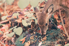 Treats! (P & Y Photography) Tags: nature animal mammal whitetailed deer mushroom forest wild wildlife eating parcnationaldumonttremblant qubec canada canon 5d3 5diii 70200