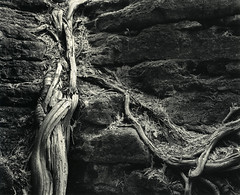 Tree Roots in Glacial pothole (Rockwood Park ON) (terra_monk) Tags: 4x5 large format darkroom print