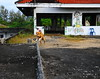 ,, Rocky, Roof ,, (Jon in Thailand) Tags: roof thedogpalace rocky jumping flying leaping fun happy dog k9 jungle aliens nikon nikkor d300 175528 blue red yellow purple green chair bluechair abandonedbuilding decayingbuilding mrpeabody sherman happydog sox hand streetphotogrphy streetphotographyjunglestyle cabinfever littledoglaughedstories
