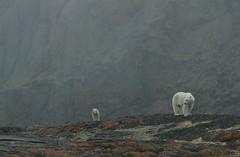 Polar bear. (dr brewbottle) Tags: bear cub polarbear baffinisland baffin