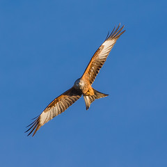 Homing in ........ Red Kite (DP the snapper) Tags: clungunfordhoptoncastleclunburywalk red kite