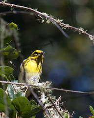 Townsend's Warbler (Tom Clifton) Tags: pointlobos birding