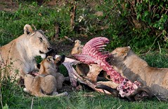 Lions with cubs feast on a wildebeest carcass. (One more shot Rog) Tags: lions lioness mane lion pride masaimaralions kill lionkill wildebeest nature eat lunch dinner ribs savannah wildlife bigcats cat cats claws teeth rogersargentwildlifephotography safari samburu onemoreshotrog feasting feast kenyasafari eastafricansafari africanlions africa kenya