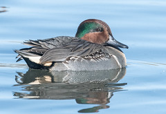 Green-winged Teal (Anas crecca) (fugle) Tags: teal greenwingedteal waterfowl duck nevada reno anas virginialake washoeco