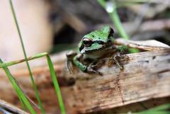Making its way (TJ Gehling) Tags: amphibian frog chorusfrog treefrog pacificchorusfrog pacifictreefrog pseudacris pseudacrisregilla canyontrailpark elcerrito