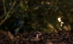 IMG_9974 (Lens a Lot) Tags: paris | 2016 carl zeiss tele tessar htf 135 mm f 4 1974 6 blades iris qbm f4 manufactured for by voiglander west germany flower plant bokeh depth field night color light manual fixed prime lens vintage profondeur de champ extérieur