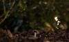 IMG_9974 (::Lens a Lot::) Tags: paris   2016 carl zeiss tele tessar htf 135 mm f 4 1974 6 blades iris qbm f4 manufactured for by voiglander west germany flower plant bokeh depth field night color light manual fixed prime lens vintage profondeur de champ extérieur