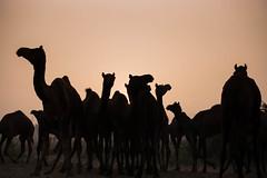 L1002825.jpg (Bharat Valia) Tags: pushkarfair bharatvalia desert rajasthanportraits bharatvaliagmailcom sheperd pushkarimages pushkarmela festivalsofindia camel pushkarcamelfair pushkar