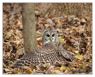 1E1A2695-DL   -   Chouette rayée / Barred Owl.