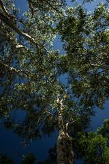 Melaleuca leucadendra (betadecay2000) Tags: northern territory bush mandorah beach darwin australia australien busch trees tree baum bume ozeanien australischer outdoor pflanze urwald gras grass pflanen grn green natur nature himmel blau eukalyptus idylle wildnis forrest timber wood woods wald wlder waelder austral australie landschaft feld melaleuca leucadendra melaleucaleucadendra
