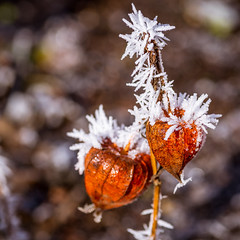 winter is coming (phlickrron) Tags: winter autumn ice icy macro detail outdoors flower bokeh 11 nature bavaria