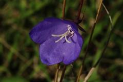 Wildblume (Hugo von Schreck) Tags: hugovonschreck outdoor flower blume blte wildblume wildflower macro makro canoneos5dsr tamronsp90mmf28divcusdmacro11f017