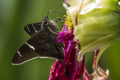 Teleus Longtail on spent dahlia (PriscillaBurcher) Tags: urbanusteleus teleuslongtail saltarinascoludas hesperiidae pyrginae mariposasdecolombia butterfliesfromcolombia l1200651