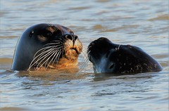 THE LOOK OF LOVE. (GrahamParryWildlife) Tags: mk2 7d 150600 sigma grahamparrywildlife uk rspb animal outdoor depth field up dof kentwildlife canon seal harbor harbour rye lookoflove pup mother love cute rother river