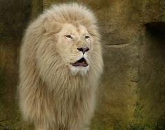 White African lion - Witte Afrikaanse leeuw in Ouwehands Dierenpark (joeke pieters) Tags: 1310420 panasonicdmcfz150 leeuw pantheraleo lion lwe witteleeuw whitelion ouwehandsdierenpark rhenen gelderland nederland netherlands holland afrikaanseleeuw africanlion male